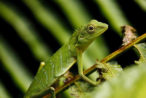 Green crested lizard (Bronchocela cristatella) Gunung Mulu National Park Sarawak, Borneo