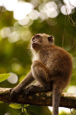 Long-tailed Macaque Bako National Park Sarawak, Borneo
