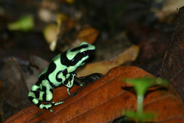 Selvaverde  Black and Green Dart Frog